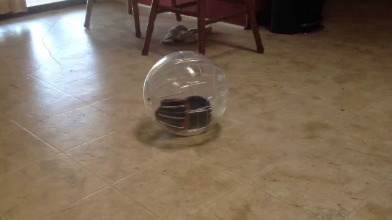 How to teach my guinea pig to go in a ball youtube how to teach my guinea pig to go in a ball sciox Image collections