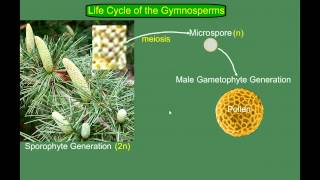 Gymnosperm (Pine) Life Cycle