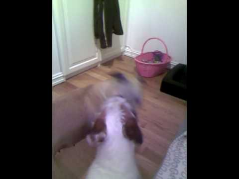 Smart Dogs: Indoor doggie play  :)