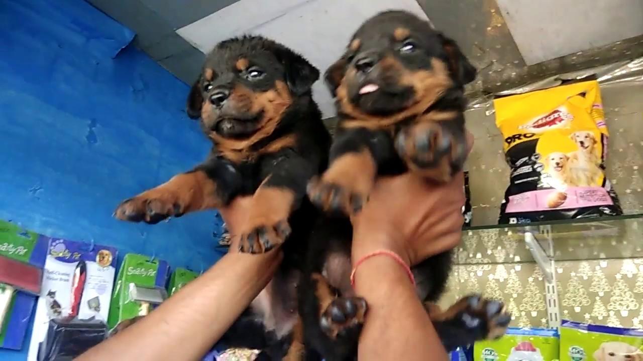 Rottweiler puppies on sale