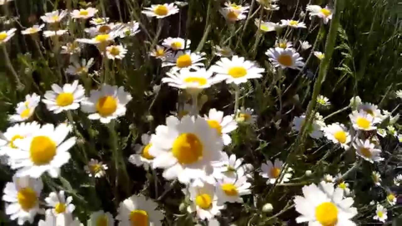 Полевые цветы ромашки белые песня