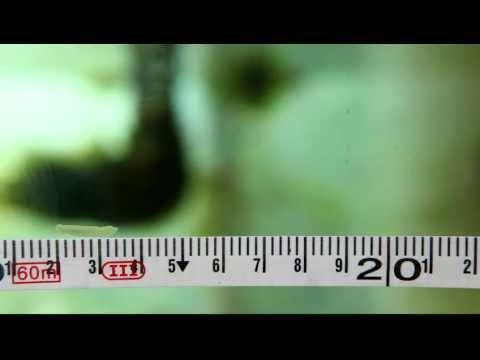 white flat worm like creature in marine aquarium