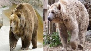 大きな捕食者 - ハイイログマとホッキョクグマ