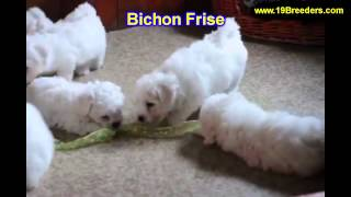Bichon Frise, Puppies, For, Sale, In, Minneapolis, Minnesota, Mn, Inver Grove Heights, Roseville, Co