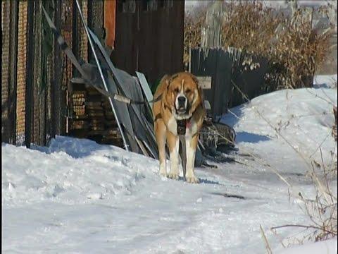 Организаторы подпольных собачьих боев держат в страхе жителей под Красноярском