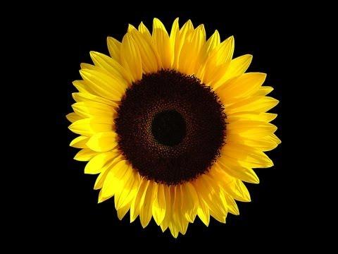 ginsberg sunflower sutra