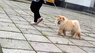 щенок чау-чау продается