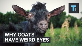 Why goats have weird eyes