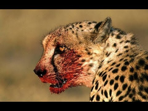 Africa Wildlife  - Wild Animals in Africa Documentary | Predators (2018)