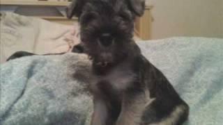 Lhasa-apso - Rottweiler - Schnauzer - Beagle