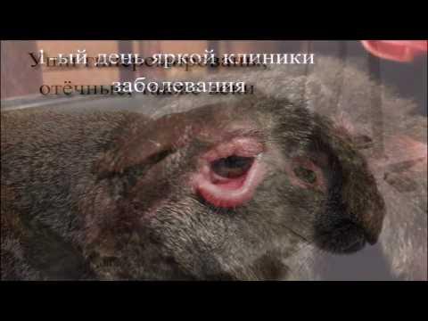 Лечение миксоматоза кроликов