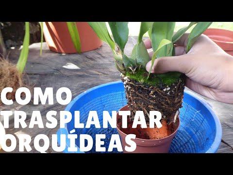 Cómo Trasplantar Las Orquídeas En Macetas Orquiplanet Youtube