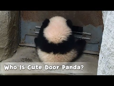 Who Is Cute Door Panda? | iPanda