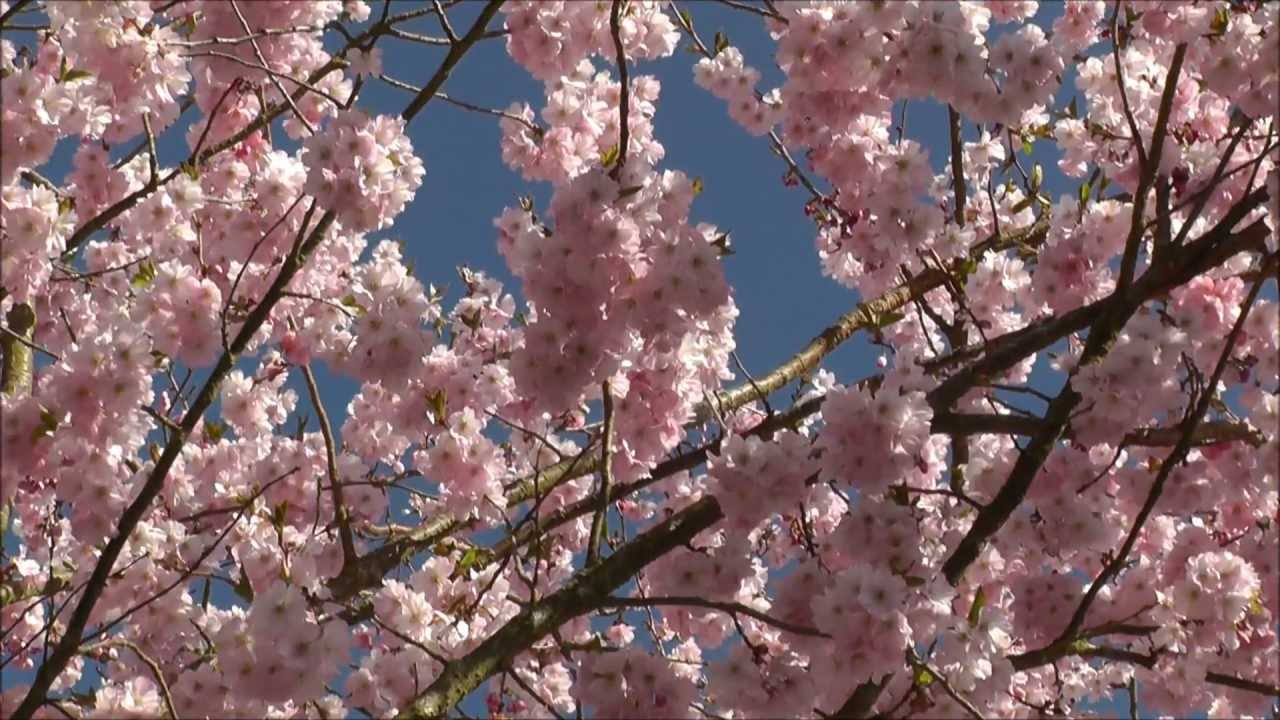 Prunus Accolade Pink Flowering Cherry Youtube