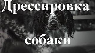 Дрессировка Русского Спаниеля