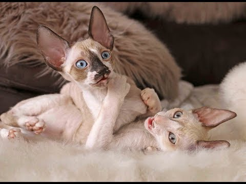 Cornish Rex babys are 10 weeks old and all they want is playng again and again!
