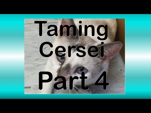 Taming Cersei Part 4 - More Success While Taming a Feral Siamese Cat!