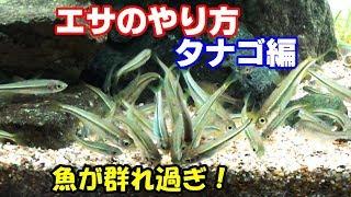 魚が寄ってきますよ! エサのやり方『タナゴ編』【2018日淡水槽#41】