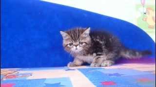 Котята экзоты фото порода экзот