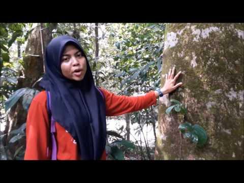 Forest Silviculture G2 Mother Tree #upmforestrytdhepp #fakultiperhutanan