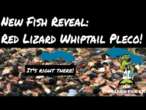 New Fish Reveal: Red Lizard Pleco Whiptail Catfish L-10a February Fish Vlog
