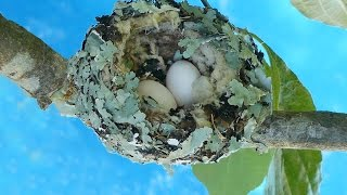 Hummingbird Nest and Eggs