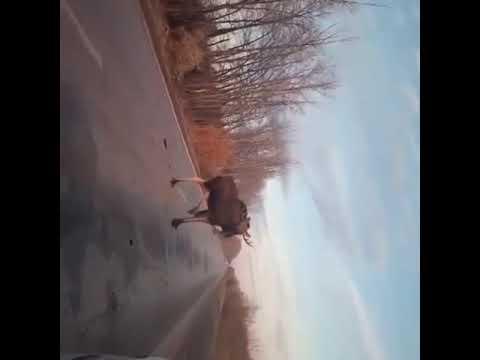 На трассе под Тольятти агрессивный лось нападал на машины