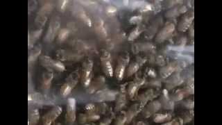 Honey Bee Observation Hive Swarming
