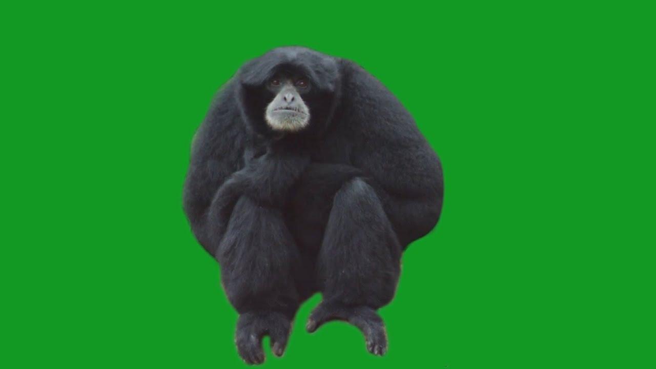 Monkey on Green Screen