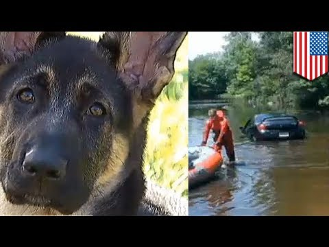 Dog Driving Car German Shepherd Puppy Drives Dodge Neon