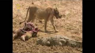 crocodile vs lion for a lion to attack a crocodile would be suicide ahahahah