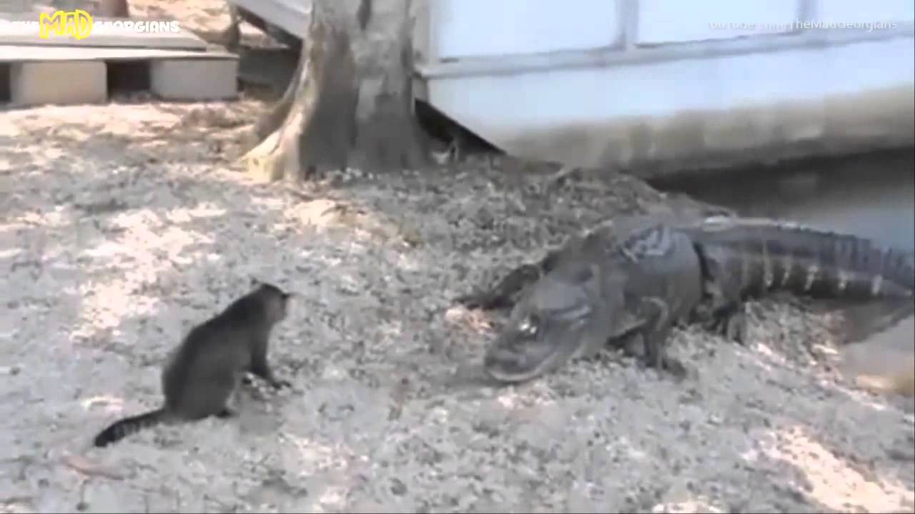 Кот против крокодилов