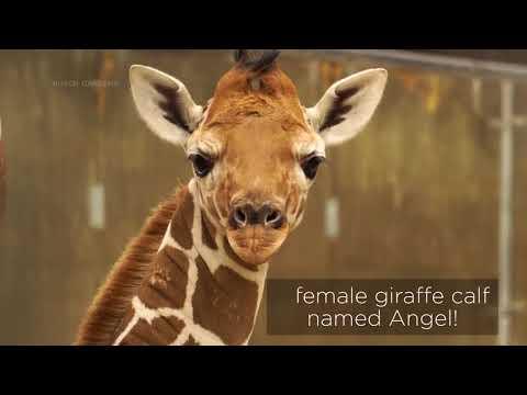 Busch Gardens Tampa Bay welcomes new giraffe