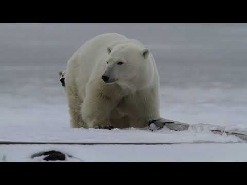 Polar Bears of Seal River: Churchill Wild Naturalist Interviews