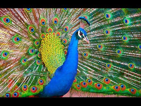 Peacock Sound || Beautiful Peacock dance - YouTube