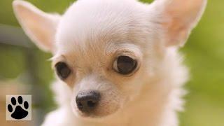 Породы собак - Чихуахуа. [Chihuahua (Dog Breed)]