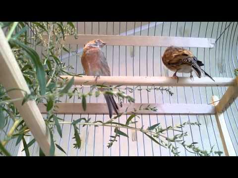 Птица дубонос обыкновенный описание с фото, где живет