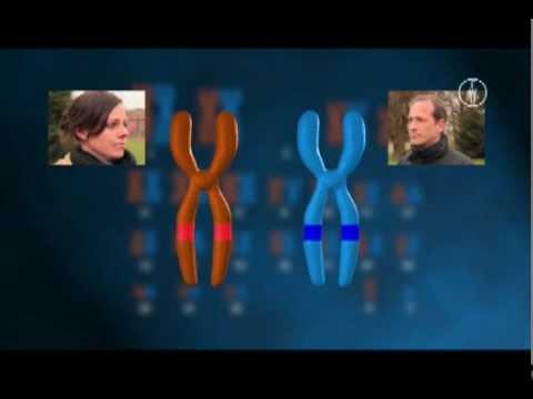 FWU - Die Zelle: Reifeteilung - Meiose - YouTube