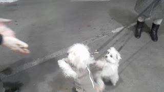 Мальтийская болонка. Мальтезе (Maltese). Породы собак. Dog breeds