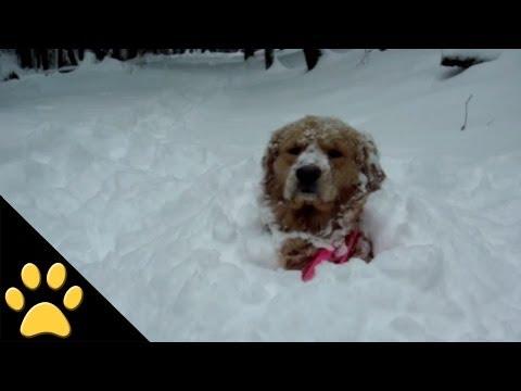 Golden Retriever Pops Out Of Snow