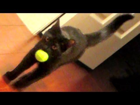 CAT PLAYS FETCH!
