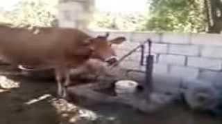 супер прикол корова в таджикистане