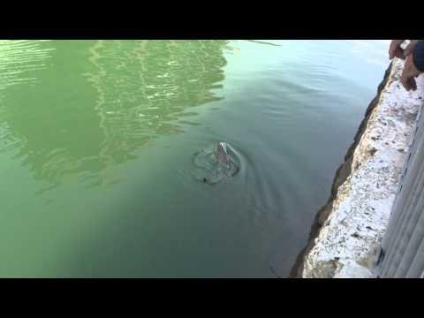 川でサメが釣れる!
