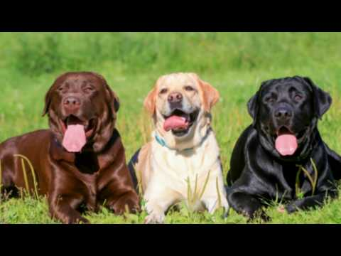 top-10-easy-to-train-dog🐕-breeds-|-countdown