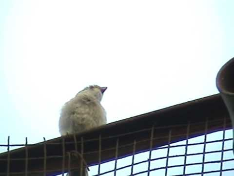 Chirpping sound of a  Female House Sparrow  Valparai
