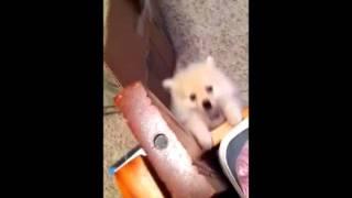 Cute White Pomeranian Puppy Barking!