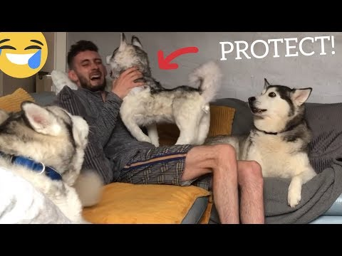 Huskies Protect Dad From Attack! [PRANK] [BEST REACTION EVER]