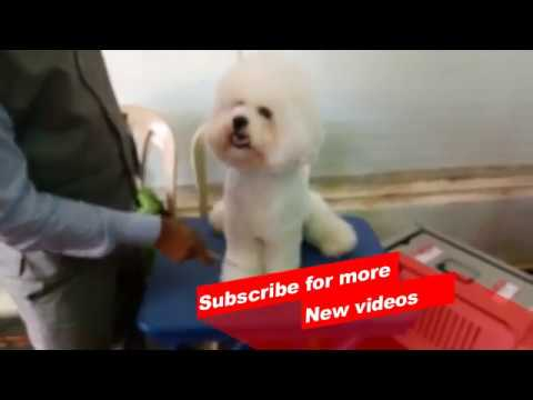 Wow ! Most Amazing dog breeds worldwide | Bichon Frise |