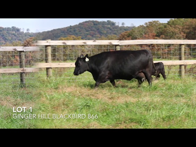 Ginger Hill Angus Lot 1