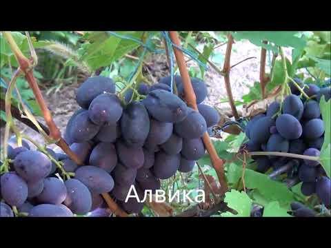 Виноград Калугина Виктора 2018
